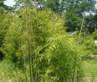 bambus_phyll_shangai