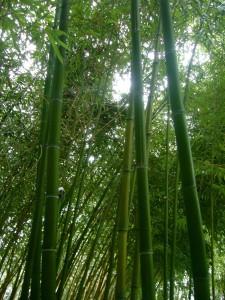 bambusy2